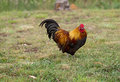 Free Free Range Bantam Rooster Organic Poultry Royalty Free Stock Photos - 28836218