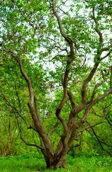 Free Spreading Tree Stock Photos - 28831723
