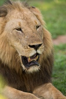 Free Lion Portrait, Africa Royalty Free Stock Photography - 28833437