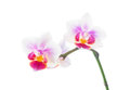 Free Orchid Isolated On White Royalty Free Stock Photo - 28840475