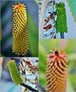Free Aloe Vera Flower Buds Stock Image - 28844701