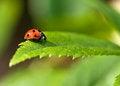 Free 7 Spot Red Ladybird Stock Photos - 28849613