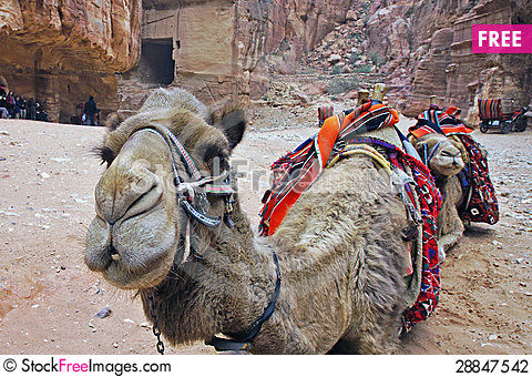 Free Camels In Petra. Stock Photography - 28847542