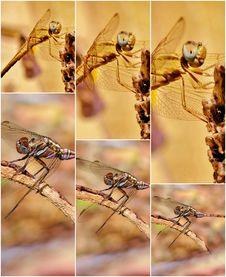 Free Dragonfly Royalty Free Stock Photos - 28845258