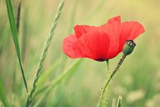 Free Red Poppy With Small Bud Royalty Free Stock Photography - 28846807