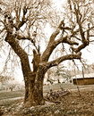 Free Large Tree On Country Farm In Sepia Tones Royalty Free Stock Photos - 28851578