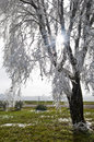 Free Tree With Frost Laced Branches And Sunburst Royalty Free Stock Photo - 28851645