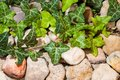 Free Ivy On The Stones Stock Image - 28851671