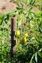 Free Tomatoes Stock Photo - 28851700