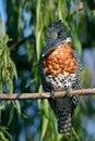 Free Giant Kingfisher Stock Images - 28855774