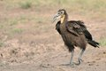 Free Juvenile Ground Hornbill Stock Image - 28855841