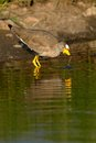 Free African Wattled Lapwing Stock Photos - 28856503