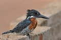 Free Giant Kingfisher Royalty Free Stock Photography - 28856607