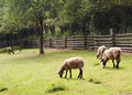 Free Sheep Grazing Stock Photography - 28857302