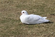 Free White Pigeon Royalty Free Stock Images - 28850959