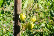 Free Tomatoes Royalty Free Stock Photo - 28851695