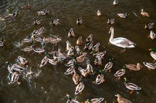 Free Ducks And Swans Stock Image - 28851721