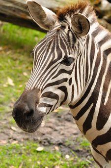 Free Zebra Stock Images - 28852954