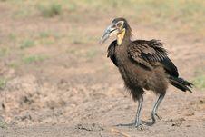 Free Juvenile Ground Hornbill Stock Image - 28855841