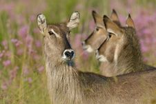 Free Waterbuck Royalty Free Stock Images - 28856109
