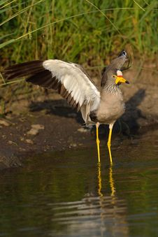 Free African Wattled Lapwing Royalty Free Stock Image - 28856556
