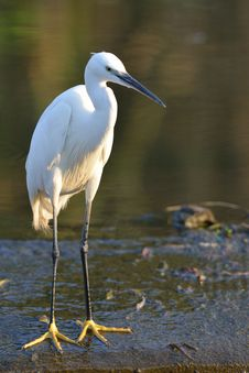 Free Little Egret Stock Photo - 28856830