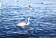 Free Swans And Ducks. Royalty Free Stock Photos - 28859968