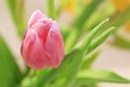 Free Lovely Pink Tulip Close Up Royalty Free Stock Images - 28866039