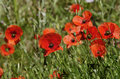 Free The Poppies Royalty Free Stock Photos - 28869878
