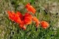 Free The Poppies Stock Photo - 28869920