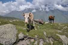Free Grazing Cows In The Mountains Of Georgia. Stock Photography - 28860042