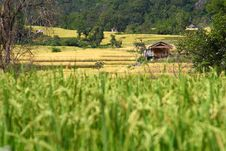 Free The Little Hut In The Paddy Rice Field Stock Photography - 28863152