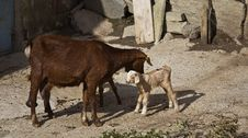 Free The Goat And Her Kid Royalty Free Stock Image - 28864926