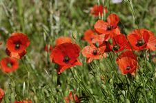 Free The Poppies Royalty Free Stock Photos - 28869878