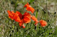 Free The Poppies Stock Photo - 28869920