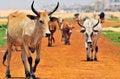 Free Herd Of Zebus Royalty Free Stock Photo - 28871075