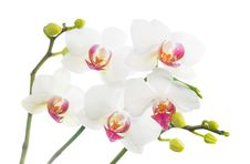 Free White Orchid Isolated On White Stock Images - 28874924