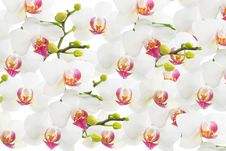 Free White Orchid Isolated, Flower Background Royalty Free Stock Photos - 28877168