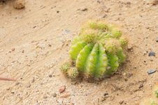Free Cactus Royalty Free Stock Photo - 28878175