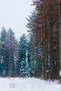 Free Snow-covered Road In Pine Forest Stock Photo - 28882580