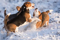 Free Three Beagles Having Fun Royalty Free Stock Photography - 28884227