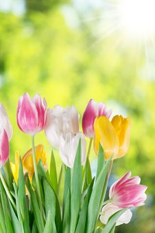 Free Tulips On A Blur Background. Stock Photo - 28880930