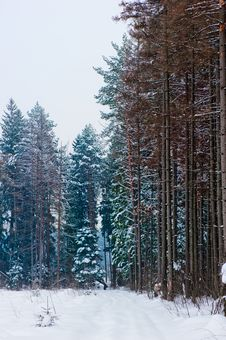 Snow-covered Road In Pine Forest Stock Photo