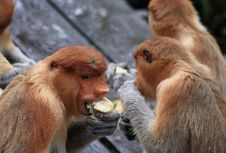 Free Nasalis Larvatus Monkey Stock Photography - 28882672