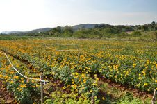 Free Marigold Farming Royalty Free Stock Image - 28891696