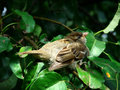 Free Sparrow In Pear-tree Stock Photography - 2890402