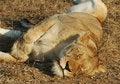 Free Female Lion Sleeping Stock Photos - 2891403