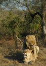 Free Lions Mating Royalty Free Stock Images - 2891479