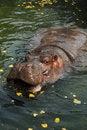 Free Hippo 5 Royalty Free Stock Photos - 2892888