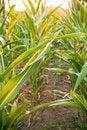 Free Corn Field Stock Image - 2897801